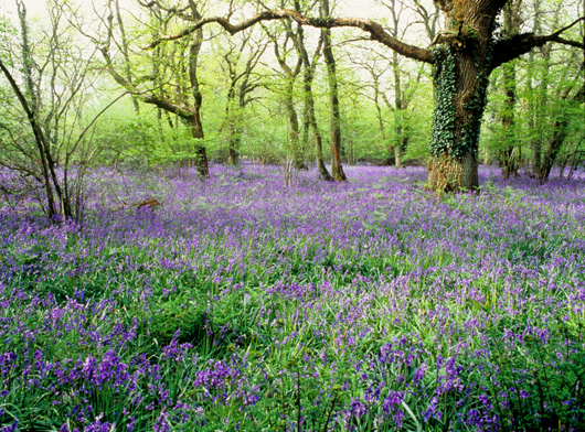 Bluebells at Ranscombe Farm, Kent