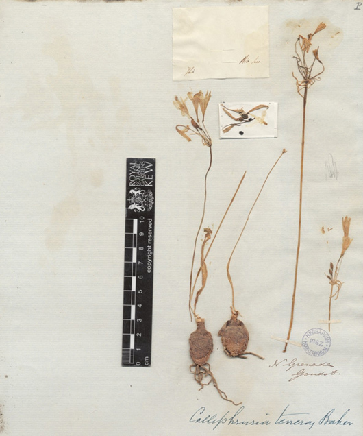 an old dried herbarium specimen of plant mounted on a piece of paper