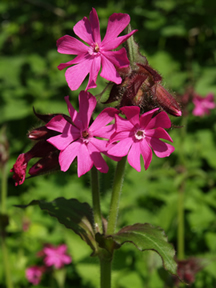 Red campion flowers by Andrew Gagg