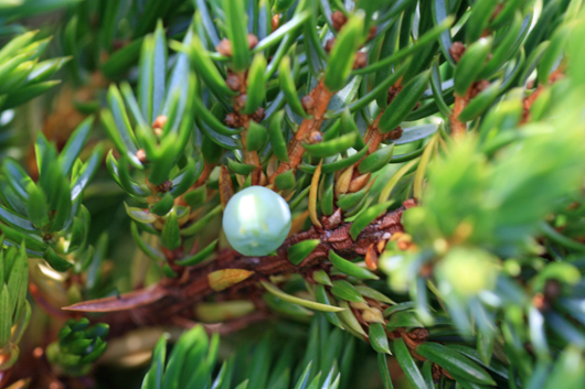 blue berry sitting among dark green conifer needles