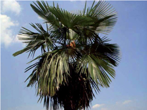 picture of trachycarpus palm