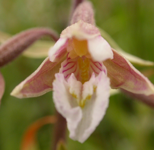 close up of marsh helleborine flower