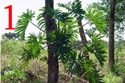 Guembe plant