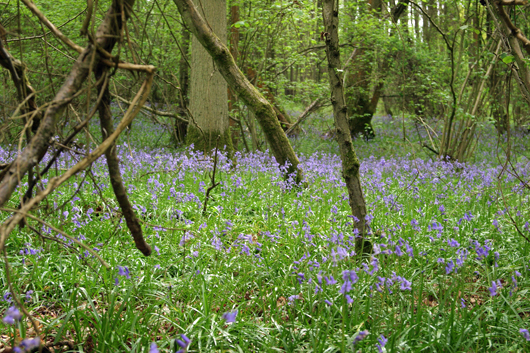 Woodland scene with blue flowers covering the ground