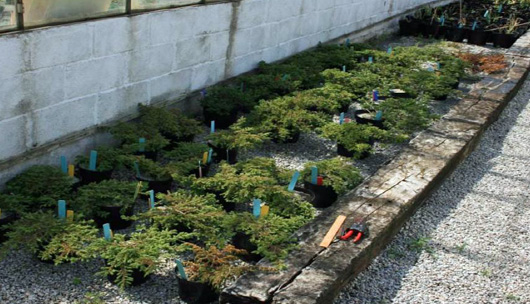 juniper seedlings at the eden project nursery